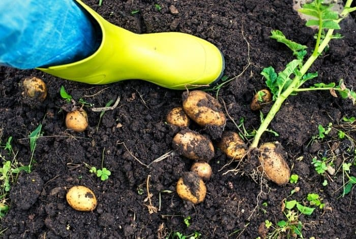 How To Tell It's Time To Dig Up Potatoes