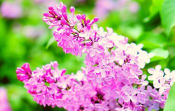 How long do Lilacs Bloom – A Clear Guide