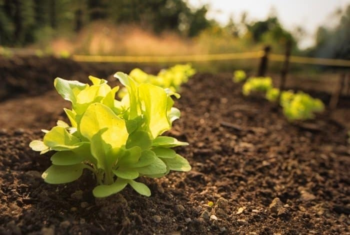 Quick Facts About Lettuce