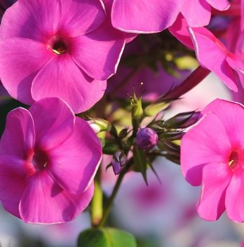 What Do Phlox Seeds Look Like – A General View
