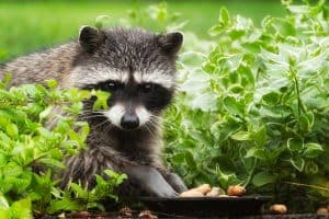 What do Raccoons Eat - A Detailed Study
