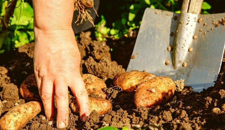 When To Dig Up Potatoes - A Clear Guide