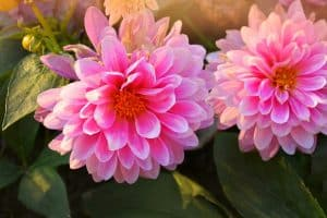 When do Dahlias Bloom - An Overview