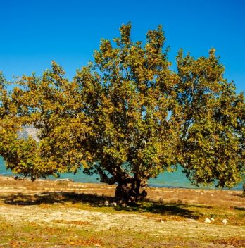 How Fast Do Sycamore Trees Grow
