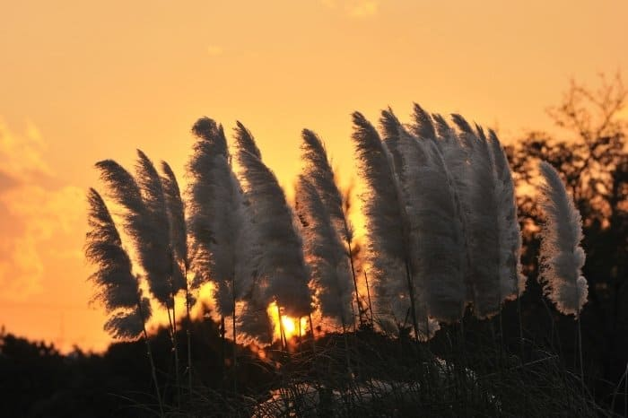 How Fast Does Pampas Grass Grow - From Transplanting To Bloom