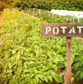 How Long Does it Take for Potatoes to Grow