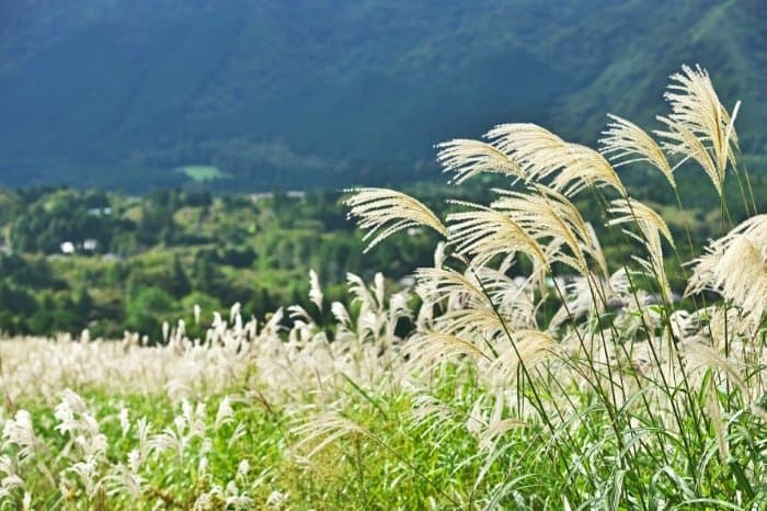 How To Care For Pampas Grass