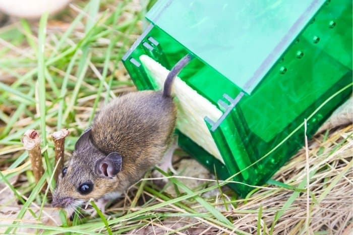 How To Eliminate Rodents With Mouse Poison