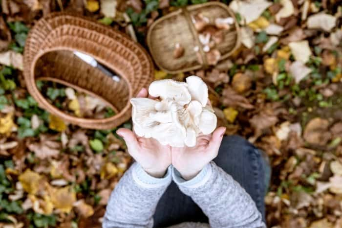 How To Harvest The Oyster Mushrooms
