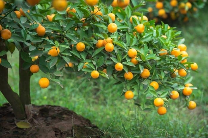 Interesting Facts About The Kumquat Tree