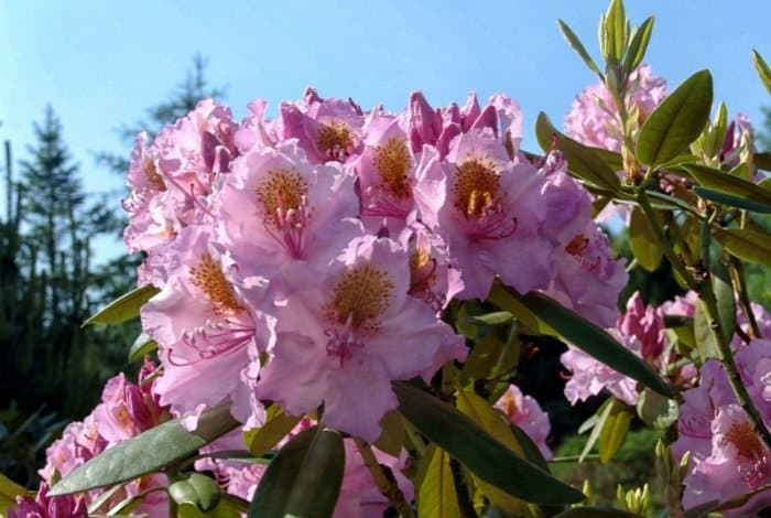 Rhododendrons Bloom - Spring also Winter