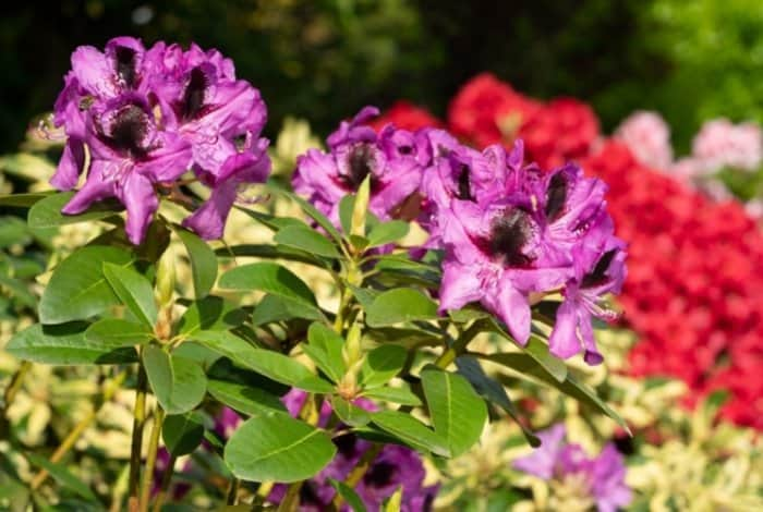 Rhododendrons Varieties To Grow