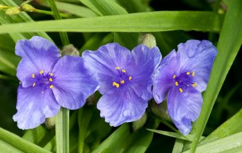 Spiderwort Sun or Shade – Which One is favorable?