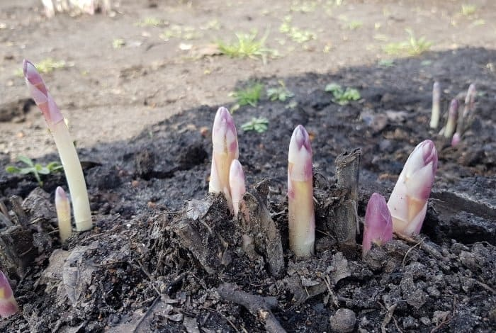 Transplanting Asparagus Is Critical