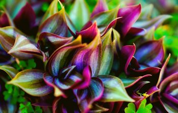 Types of Wandering Jew - A Review