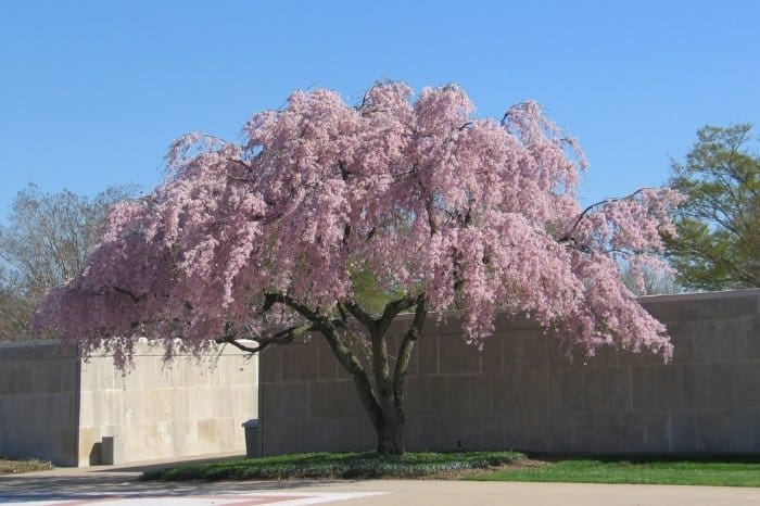 Weeping Cherry Tree - When to Plant