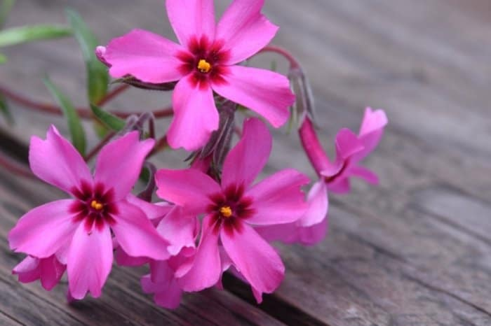 What Are The Right Conditions For Creeping Phlox Planting