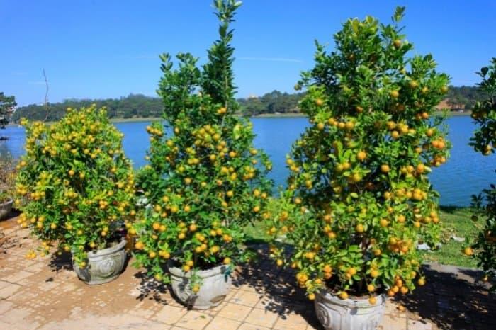 What Does A Kumquat Tree Look Like