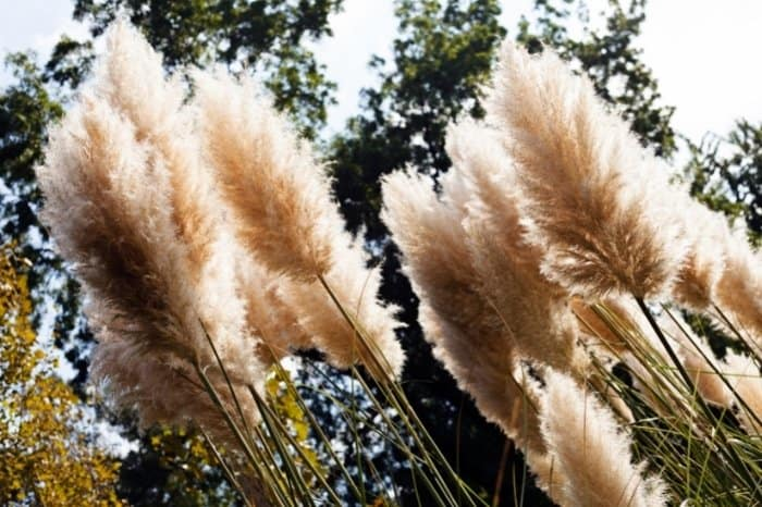What Does Pampas Grass Look Like
