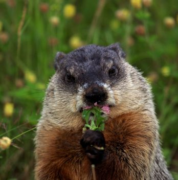 What Does a Woodchuck Look Like