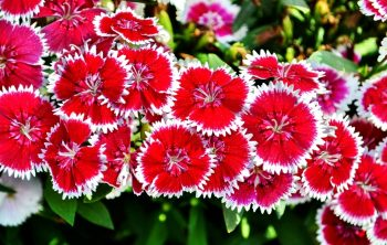 When Do Dianthus Bloom - A Guide