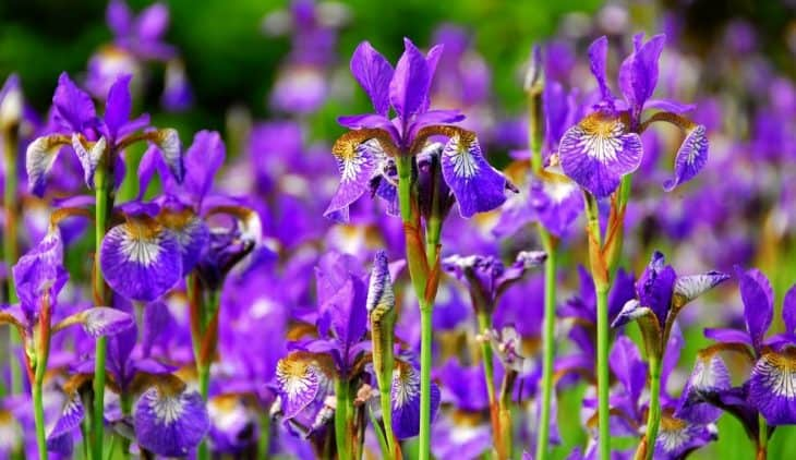 When Do Irises Bloom – The Right Time