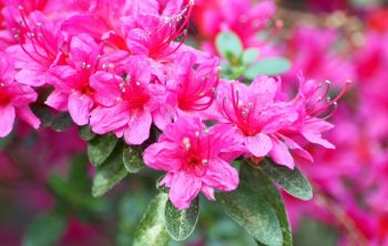 When Do Rhododendrons Bloom