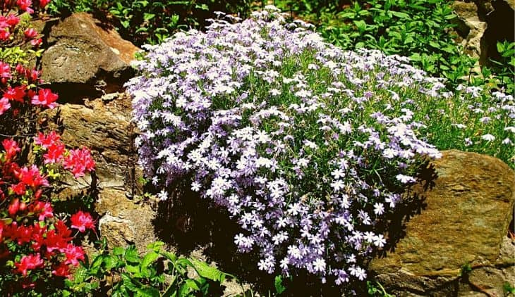 When To Plant Creeping Phlox - An Overview