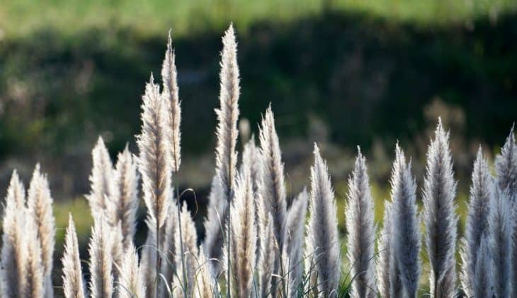 When To Plant Pampas Grass Either From Seeds Or Seedlings