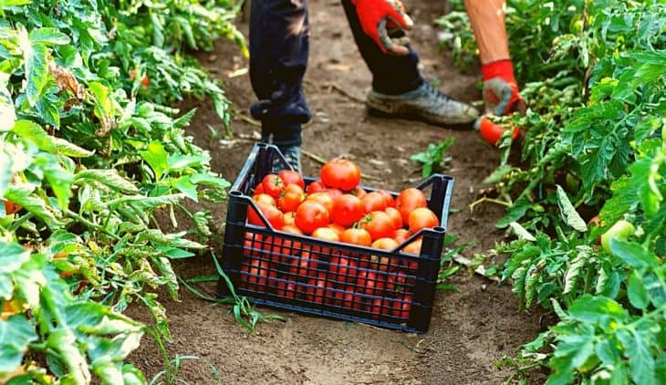 When are Tomatoes Ready to Pick