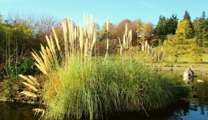 When does pampas grass bloom?