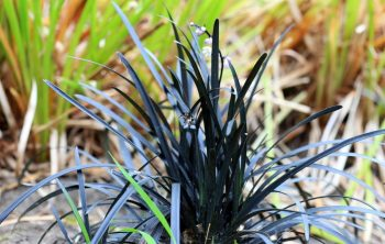 When is the right time to Plant Mondo Grass