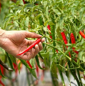 When to Harvest Chili Peppers