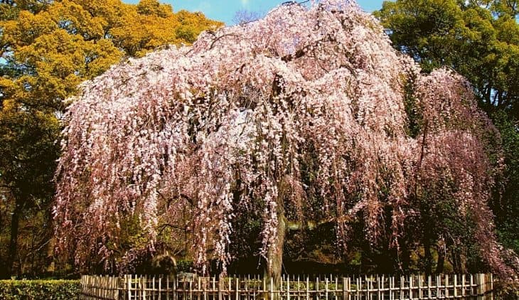 When to Plant Weeping Cherry Tree