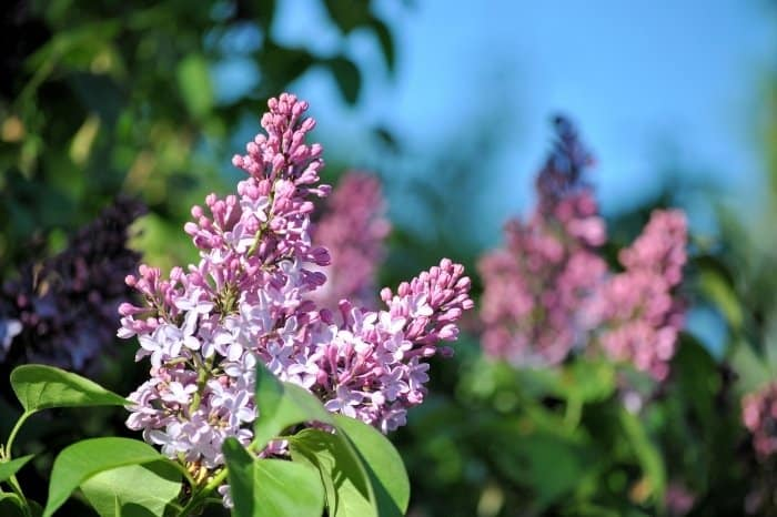 Early Spring Lilacs