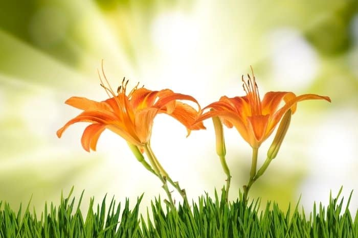How Much Sun Do Lilies Need