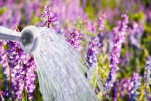 How Much Water Does Lavender Need