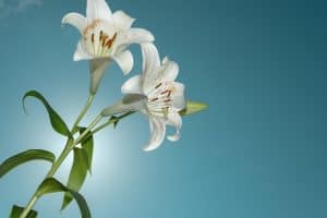 How much sun do lilies need - An Overview