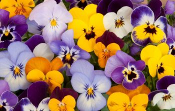Pansy Sun or Shade - A Quick Guide