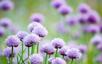 Should I Let Chives Flower - A Full Answer