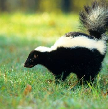 Skunk tearing up lawn - How to Stop it