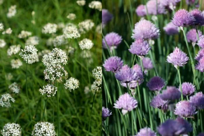 Types Of Chive Plants To Grow