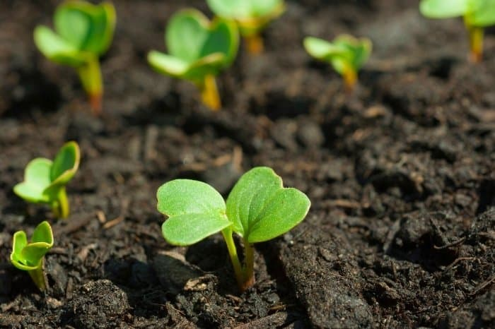 Vegetable Plant Identification By Leaf - Cotyledons