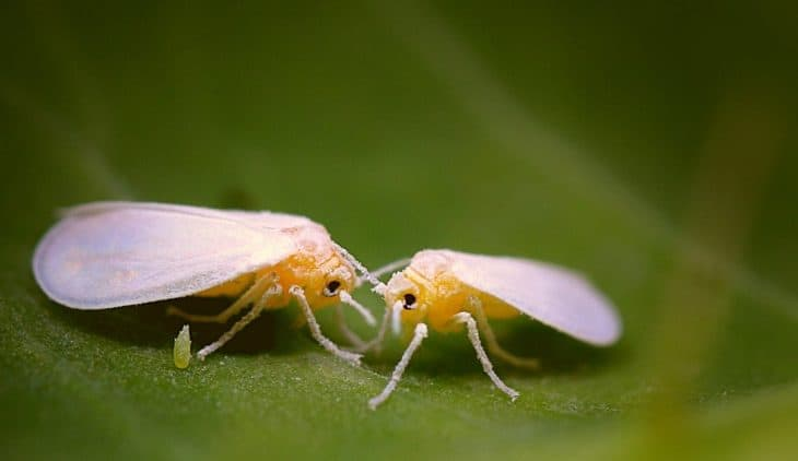 What Do White Flies Look Like - An Overview