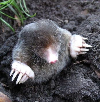 What Does Ground Moles Eat
