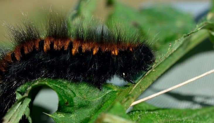 What Does a Black Woolly Worm Mean?