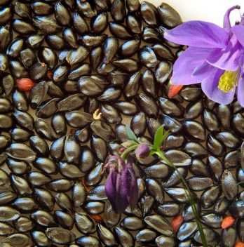 When To Plant Columbine Seeds - A Guide