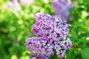 When do Lilac Bushes Bloom