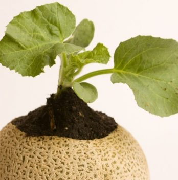 When to Plant Cantaloupe – The Right Time