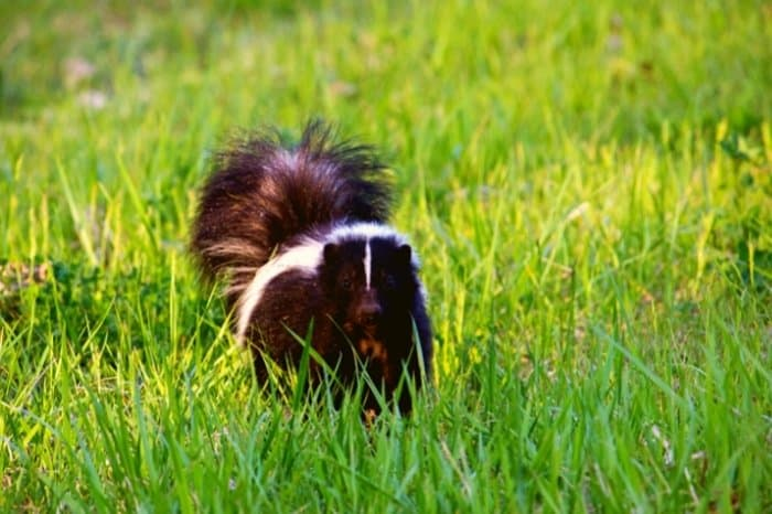 Why Does Skunk Tearing Up The Lawn